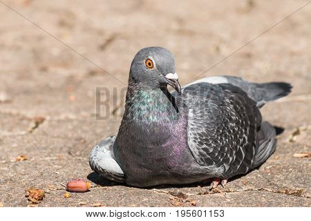 closeup of feral city pigeon resting on ground