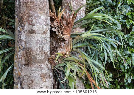 closeup of parasitic bromeliad growing on kauri tree trunk