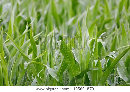 Young Green Corn Field With Shallow Focus