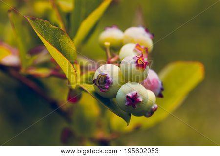 Unripe Blue Berry Fruit In Summer Garden