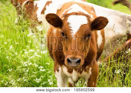 A small calf's cub is a calf. In the village, the number of calves is impressive. They are not used for industrial purposes. People living there - grow them exclusively for their own purposes.