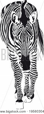 Consisting of black strips Zebra is slowly stepping forward