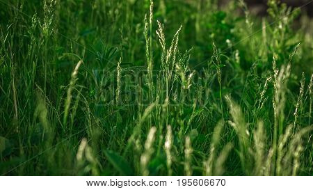Close-up view of fresh green grass on a meadow lit with sun on a summer afternoon