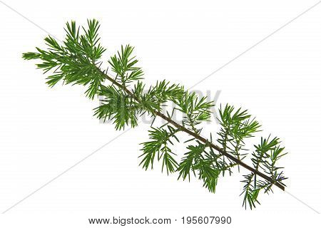 Branch of common juniper or heath juniper (Juniperus communis) isolated against white background
