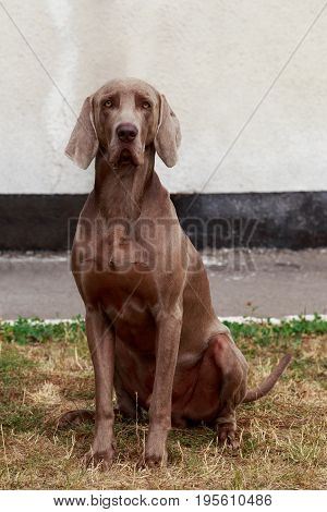 Dog breed Weimaraner sits on the lawn