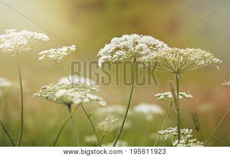 Nature in summer, wild flowers in meadow. Achillea Millefolium, White Yarrow, Common Yarrow
