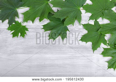 A view from above on saturated green grape leaves laying on a silvery wooden background. Fresh emerald foliage on a table. Decorative botany and veiny pattern. Maple leaves.