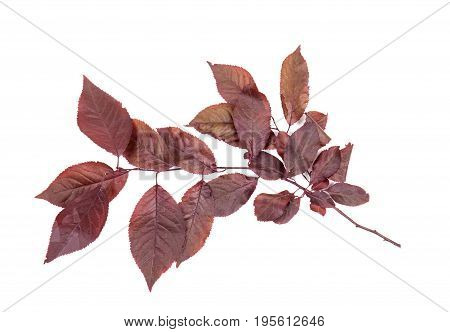 Fresh, bright red leaves plums, isolated on a white background. Red leaf. Red leaves. Beautiful branch with red leaves of plum.