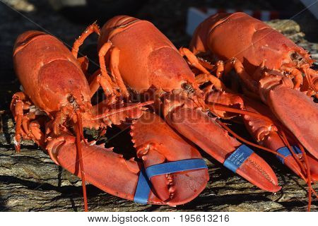 Great Lobsters from Maine Ready for Supper