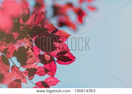 Multiple bright pink leaves on a light blue summer sky background. Red foliage on thin branches on an autumn day. Charming fall scenery. A spacious floral wallpaper.