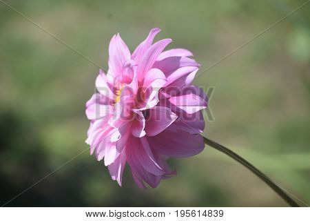 Gorgeous Bloomed Pink Dahlia Flower in Spring