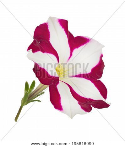 Bright Pink and White Petunia Flower Isolated on White Background