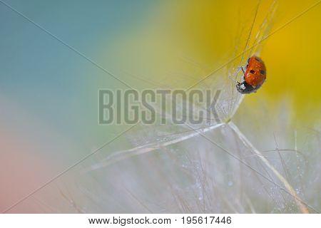 ladybug on dandelion and dew drops, close up