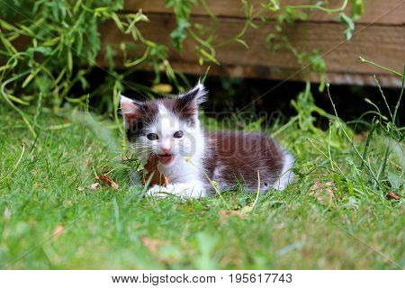 Cute black and white kitten eats a dry leaf