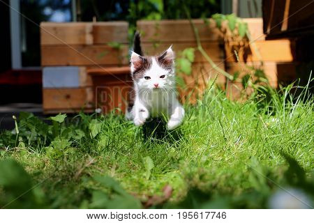 Cute black and white cat is running towards the camera