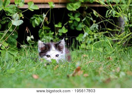 Cute black and white kitten is playing in the garden