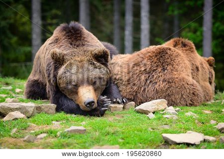 European Brown Bears In A Forest Landscape At Summer. Big Brown Bears In Forest.