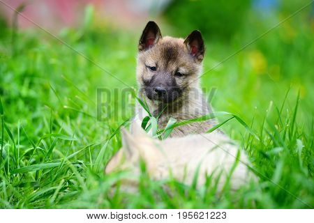 Two Lovely Charming Puppies Of Laika Breed Is Sitting On Green Grass
