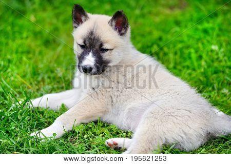 A Beautiful Siberian Laika Puppy Lying Down On The Grass