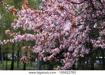 Flowering Prunus Pissardii In The Spring Park