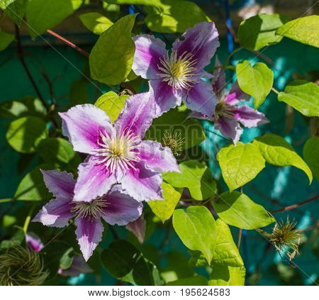 Beautiful Pink Clematis