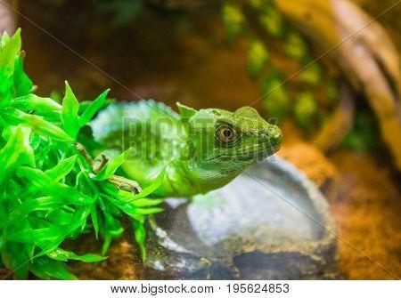 The green lizard in a terrarium at the resort Vinpearl poster