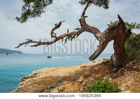 Pine On The Shore Of The Mediterranean Sea
