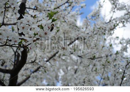 Honey Bee Pollinating Flowering Prunus Domestica Tree