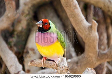 The Gouldian finch or Erythrura gouldiae, male, aka the Lady Gouldian finch, Goulds finch or the rainbow finch.