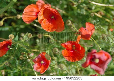 Poppy seeds. Red weed on meadow in the afternoon