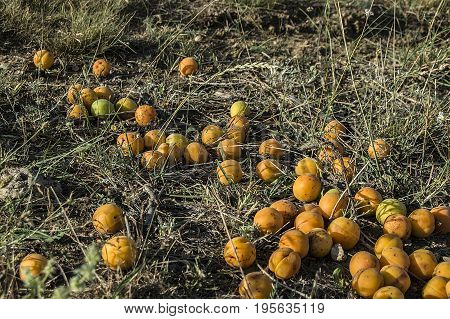 Natural and organic apricot fruit, ripe and wonderfully spilled from apricot tree,