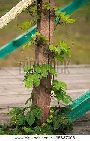 Wild grapes curl around wooden building details