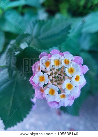 Beautiful purple pink and white lantana cocoon flower