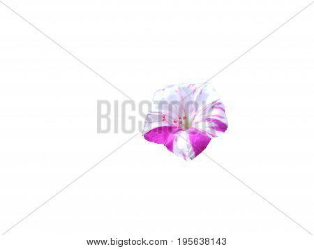 Beautiful White and purple petunia flowers white background