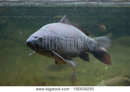 Mirror carp (Cyprinus carpio carpio).