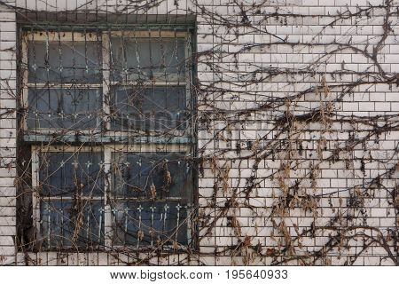 Abandoned house with dry creeper on window