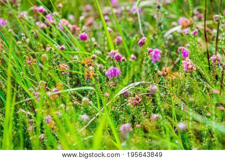 Detail Of A Bell-heather Or Moor-bell Heather In The High Fens Nature Reserve