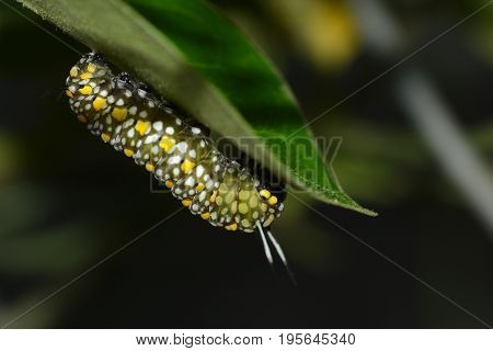 Big green caterpillar with white and yellow spots about to munch on a leaf