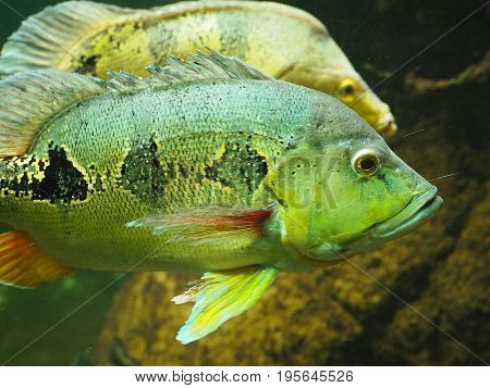 Underwater shoot of a funny two fish with open mouth fining in blue clear water