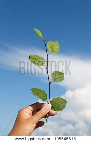 Hand holds a branch with green leaves against the sky