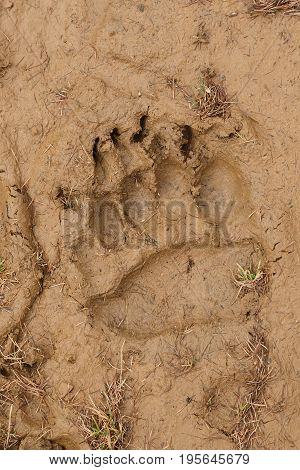Imprint of a bear's paw on yellow clay soil