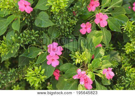 Pink Busy Lizzie flowers in the garden.