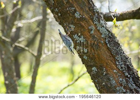The nuthatch runs down the tree trunk. Beautiful bird living in Central Europe. Bird kills pests in the garden.