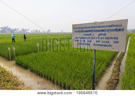 Experimental rice farm in the local of Thailand.