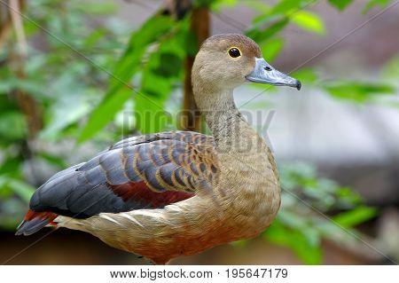 Lesser Whistling Duck Dendrocygna Javanica Cute Birds Of Thailand