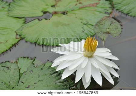 Lotus flower, white lotus flower with reflection in the lake water, dragonfly on lotus