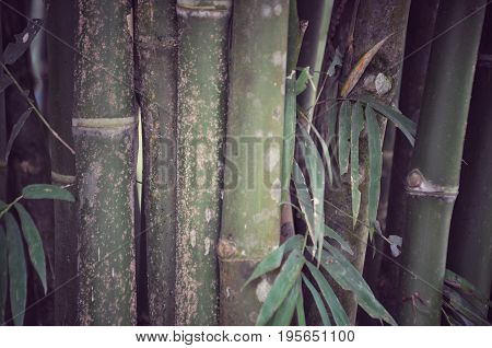 bamboo forest, bamboo background, green color background of bamboo