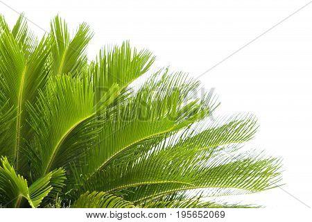 Green leaf of fresh palm tree on white background