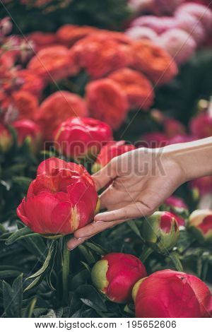 Close-up Partial View Of Female Hand With Beautiful Peony Flowers