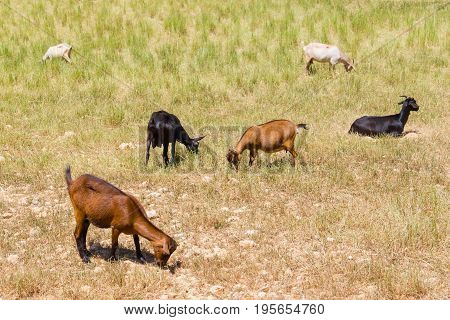 Goat Group In Vale Seco, Santiago Do Cacem